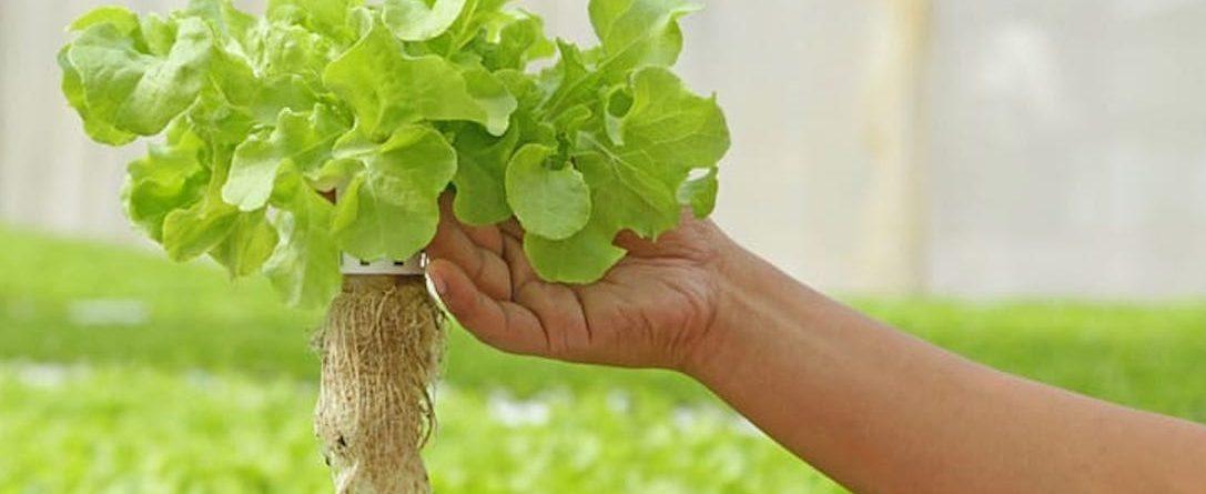 farmer holding a lettuce plant from an aquaponics farm