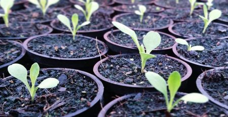 Seedlings in multiple pots of soil at the beginning of the planting process
