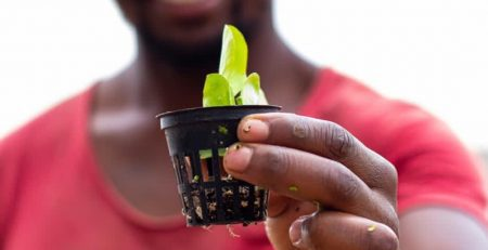 Man holding a lettuce seedling for an aquaponics system