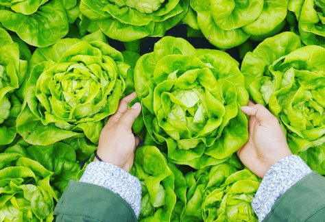 Person picking up a lettuce out of an aquaponic system